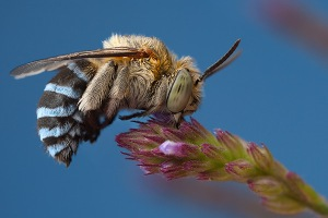 Blue banded bee #1